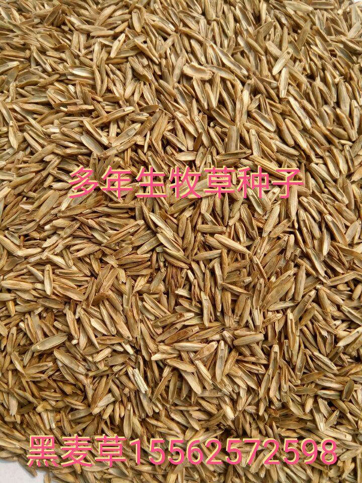 一年生黑麦草种子批发 多年生黑麦草价格