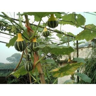鸳鸯梨南瓜种子