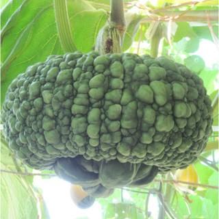 观赏南瓜 仿古瓜种子
