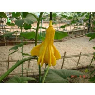 观赏南瓜种子 丑小鸭南瓜种子