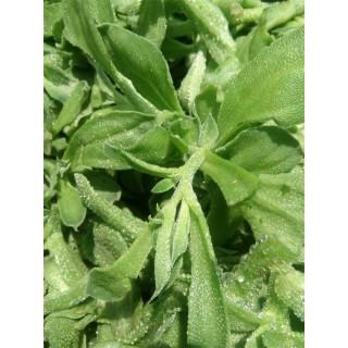 保健蔬菜 非洲冰菜种子 冰草种子,冰花种子,冰叶日中花种子