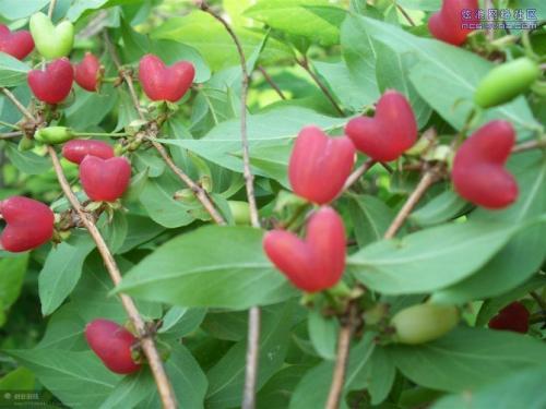 无核杈杷果种苗批发,果树种苗健身果,相思果种苗