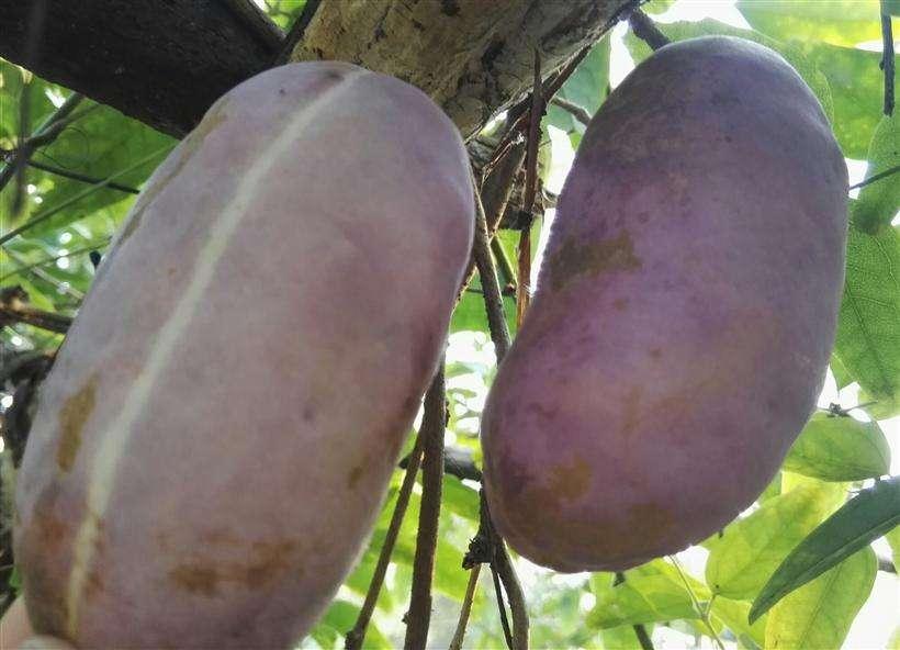 八月瓜香蜜果种苗,蜜罐果种苗,果树种苗批发