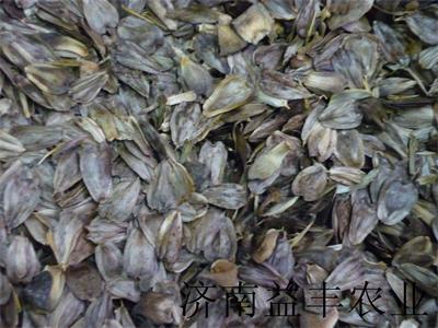 多年生优质牧草品种 串叶松香草种子  香槟草价格
