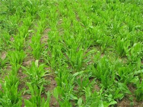 济南优质牧草种子 益丰菊苣种子连收15年